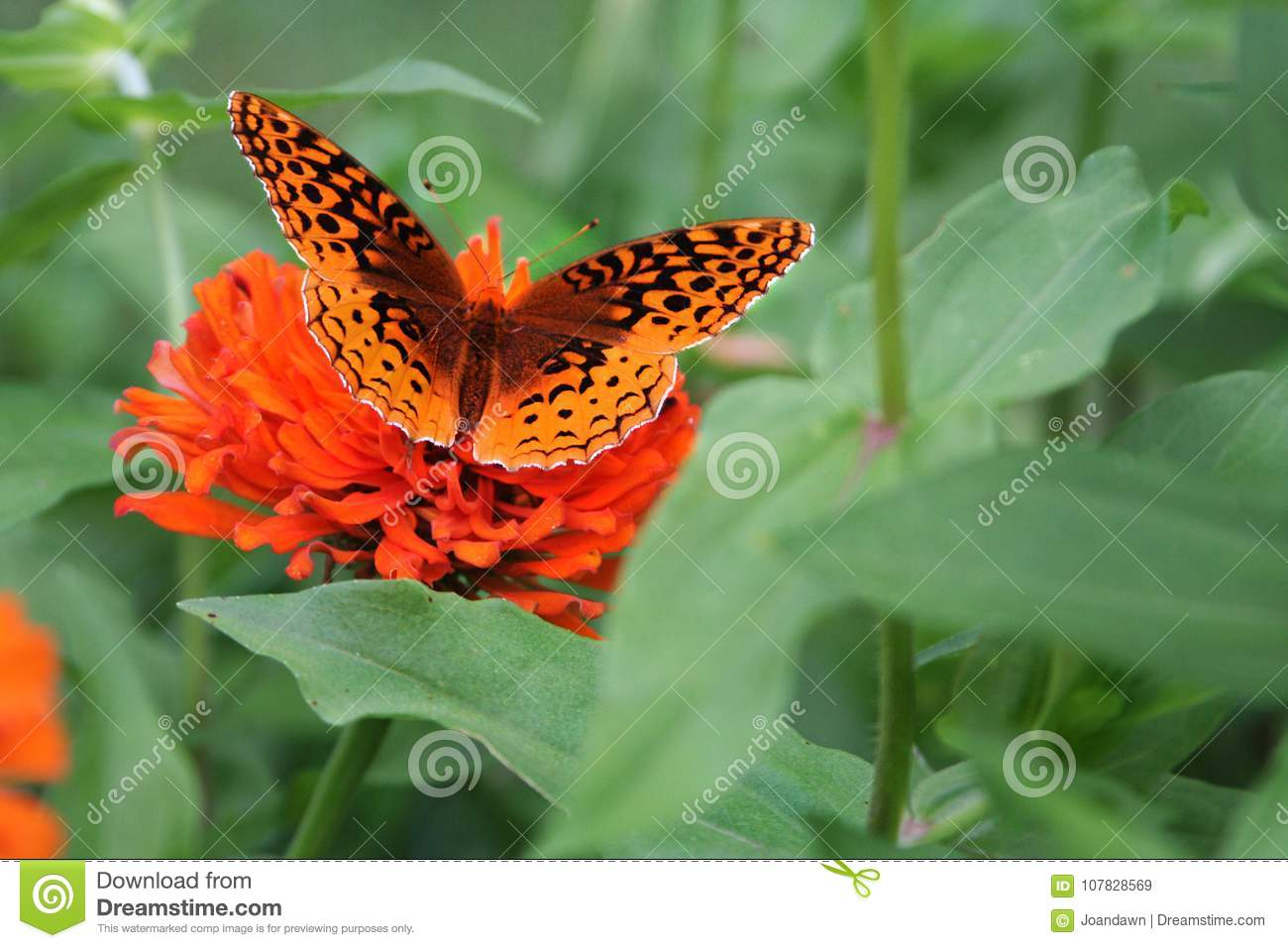 A Great Spangled Fritillary butterfly seeks a meal in a zinnia bed