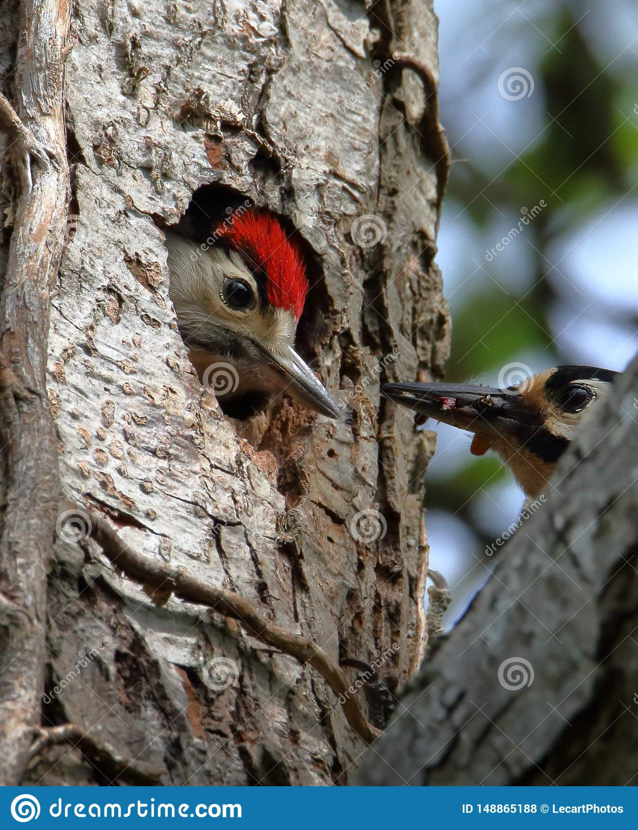 Great Spotted Woodpecker About To Feed Its Chick