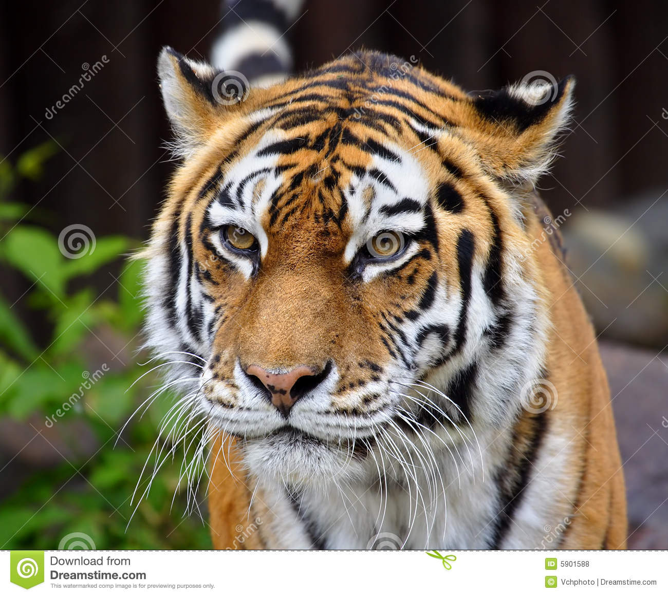 Great Tiger Royalty Free Stock Photos Image 5901588
