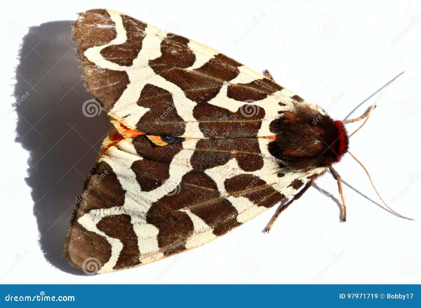 Great Tiger Moth stock image. Image of animal, horizontal - 97971719