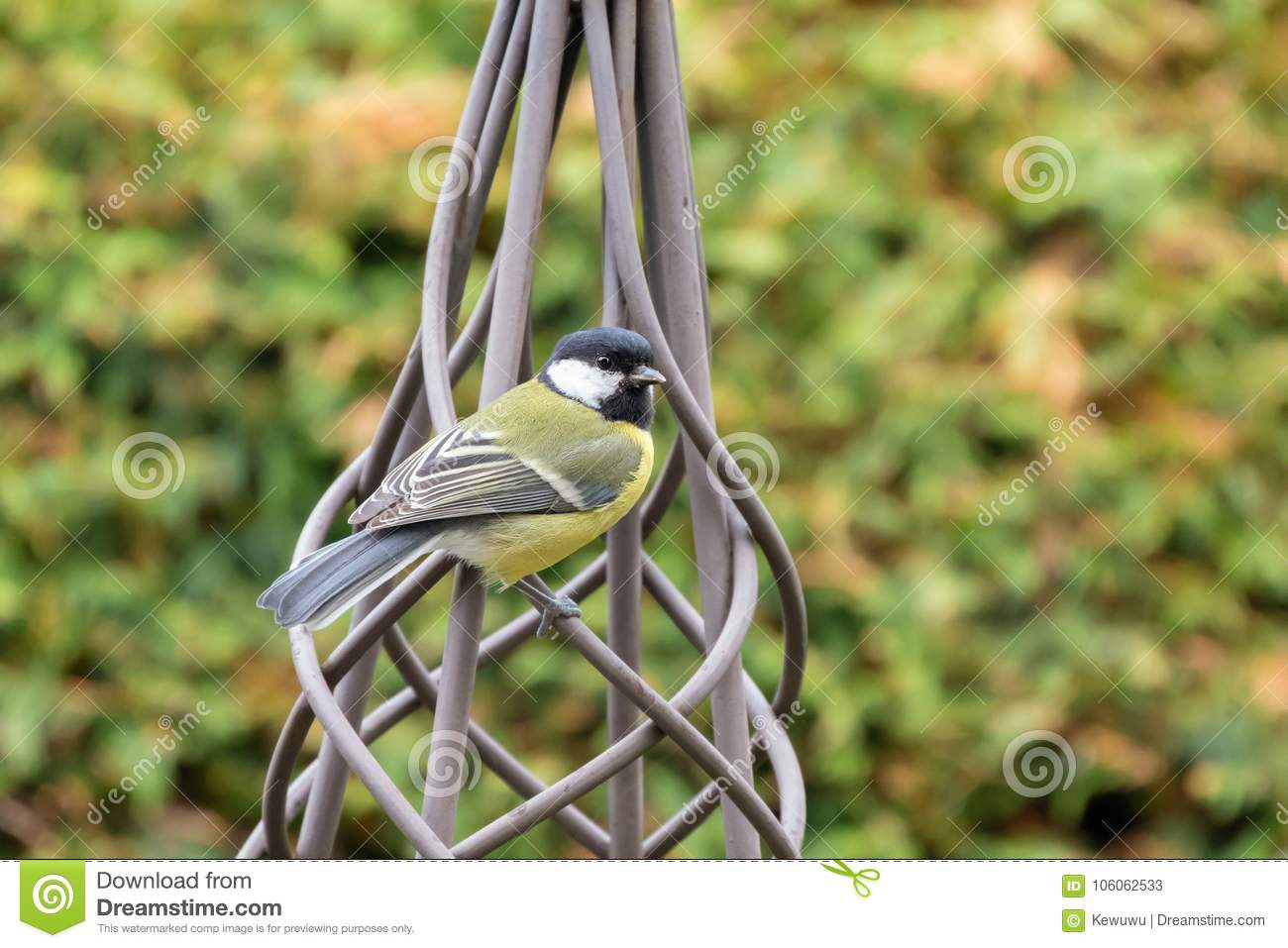 Black tit bird