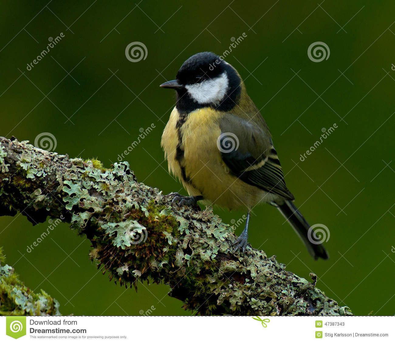 The great tit, Parus major on old branch