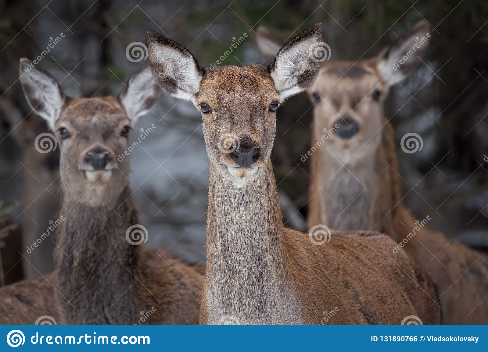 Great Trio: Three Curious Females Of The Red Deer Cervidae, Cervus Elaphus Are Looking Directly At You, Selective Focus On The