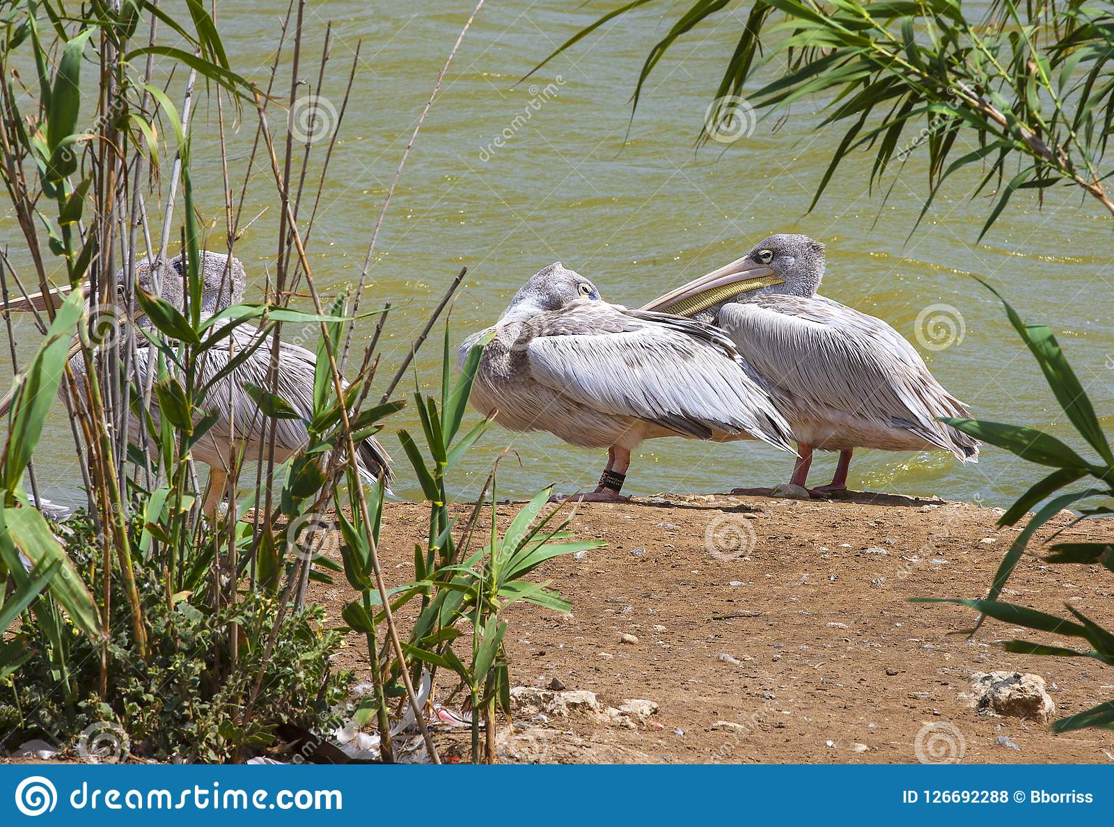 Great white or eastern white pelican, rosy pelican or white pelican is a bird in the pelican family.It breeds from southeastern Eu