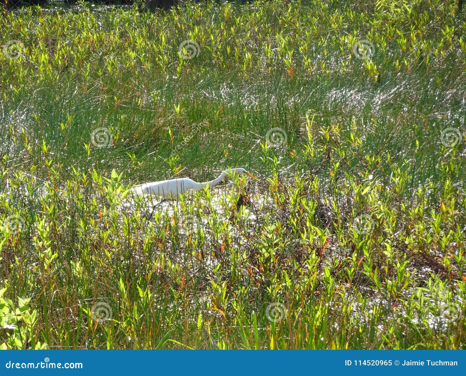 white bird walking in the swamp