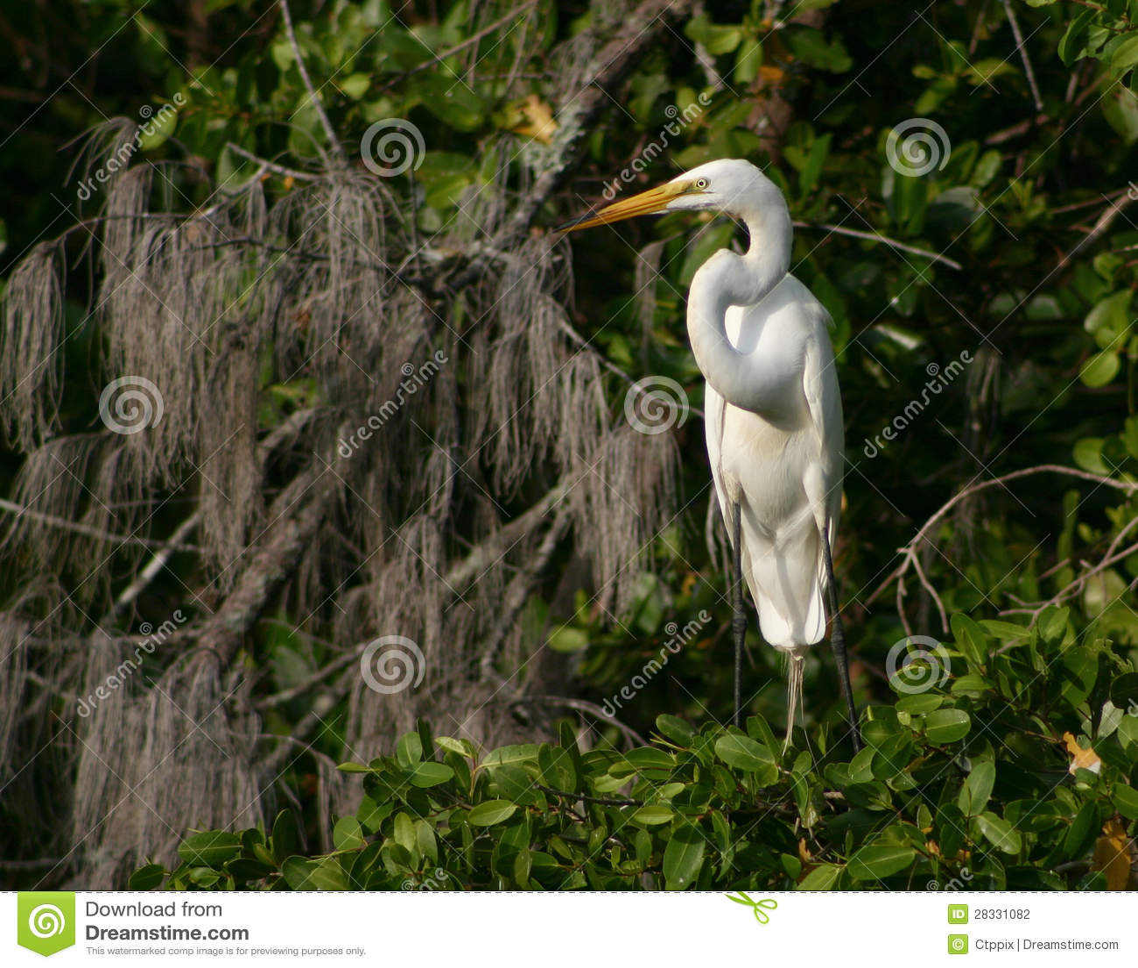 Video's van Great white egret breeding season hacked