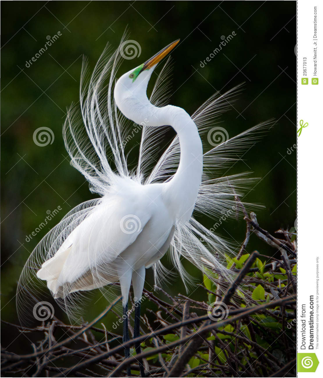 Download Great White Egret bird stock image. Image of looking - 23677013