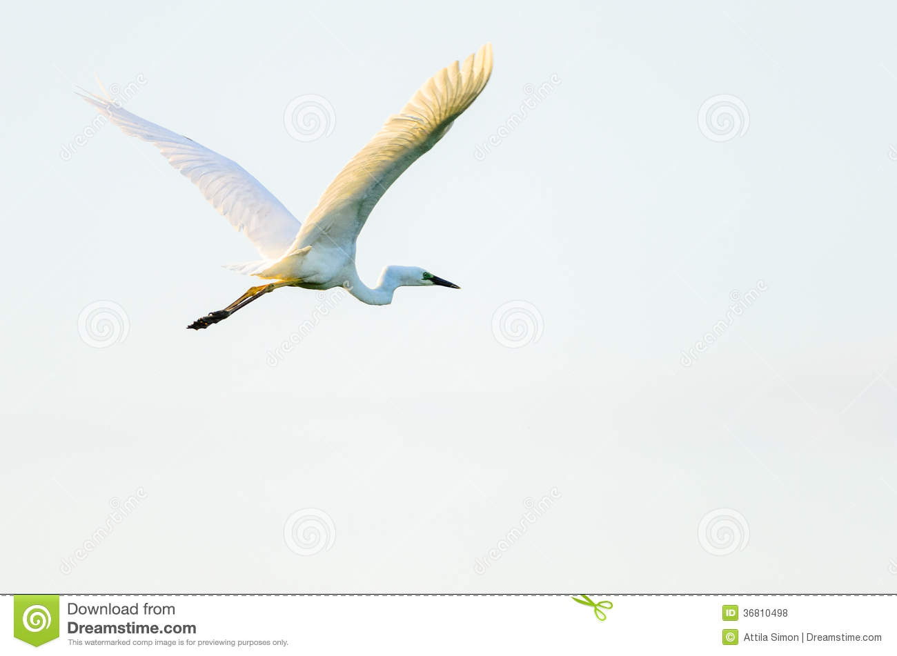 Egret Cartoons: Great Egret Or Great White Egret Stock Photo