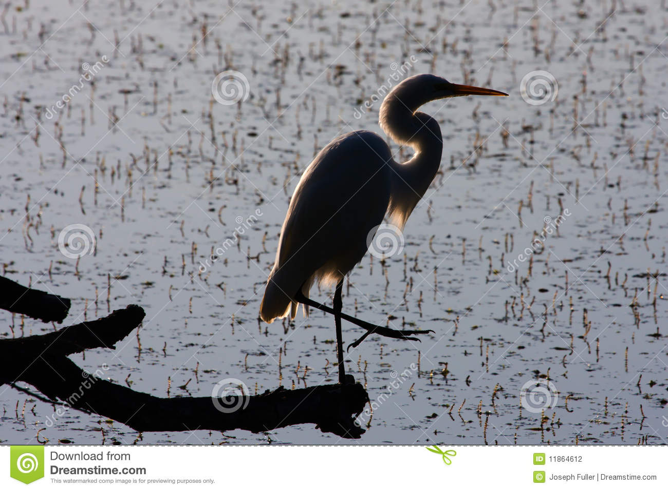 great white egret silhouette stock photo image of aves heron