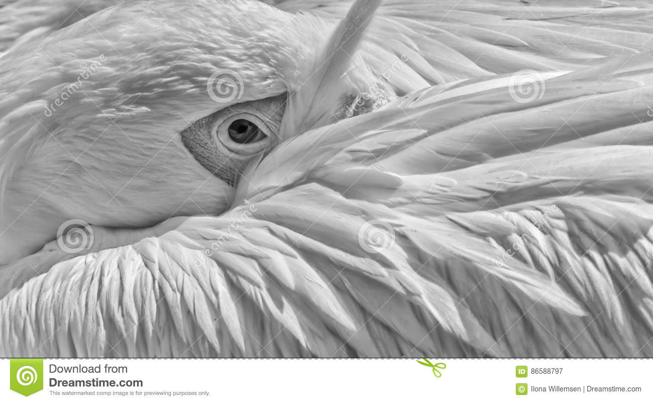 Great white pelican in black and white close-up