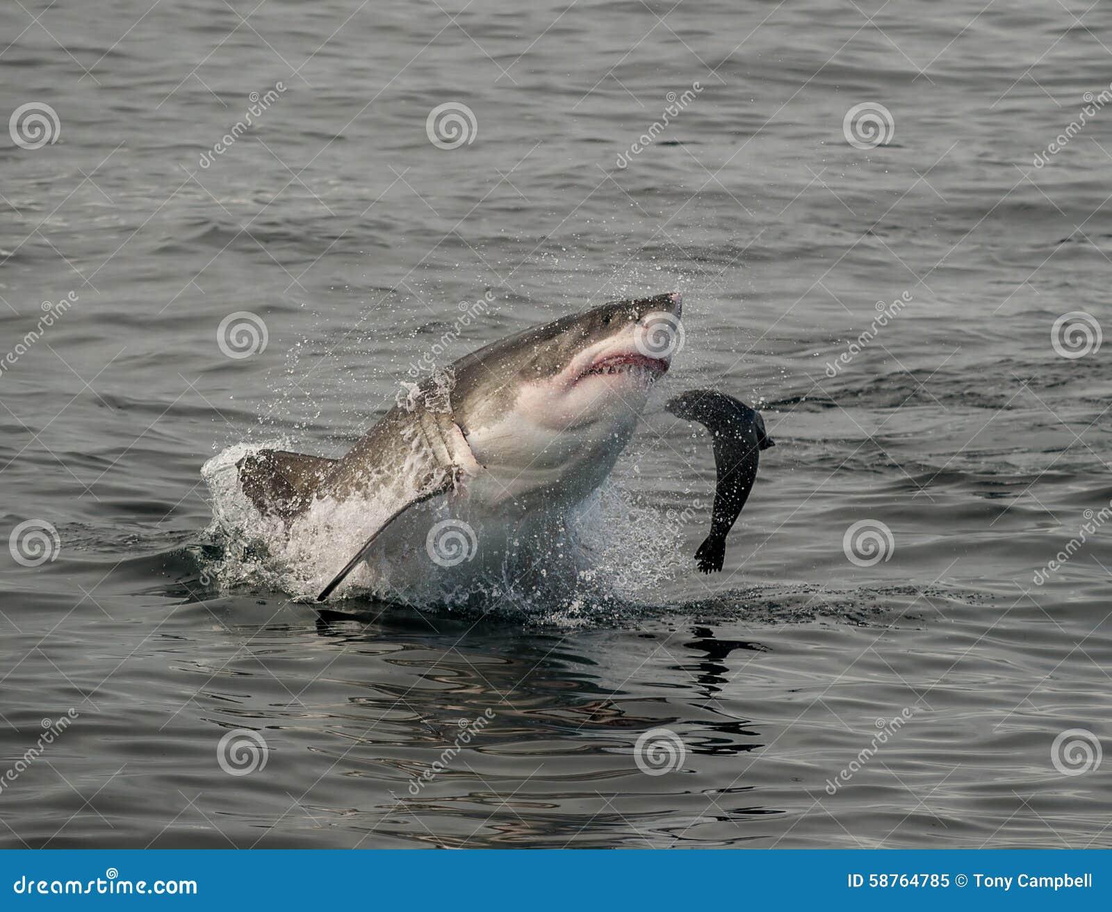 Great white shark breaching