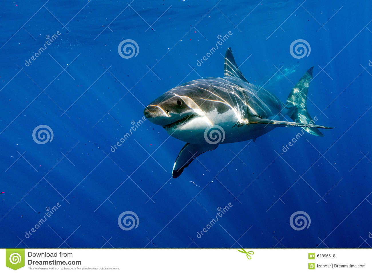 the great white shark a killer of the deep Great white shark is one of the threats in the world of stranded deep' summary [edit | edit source] bigger than its counterpart, the tiger sharkthe great white shark lives in deep ocean biomes such as deep sea, and barren.