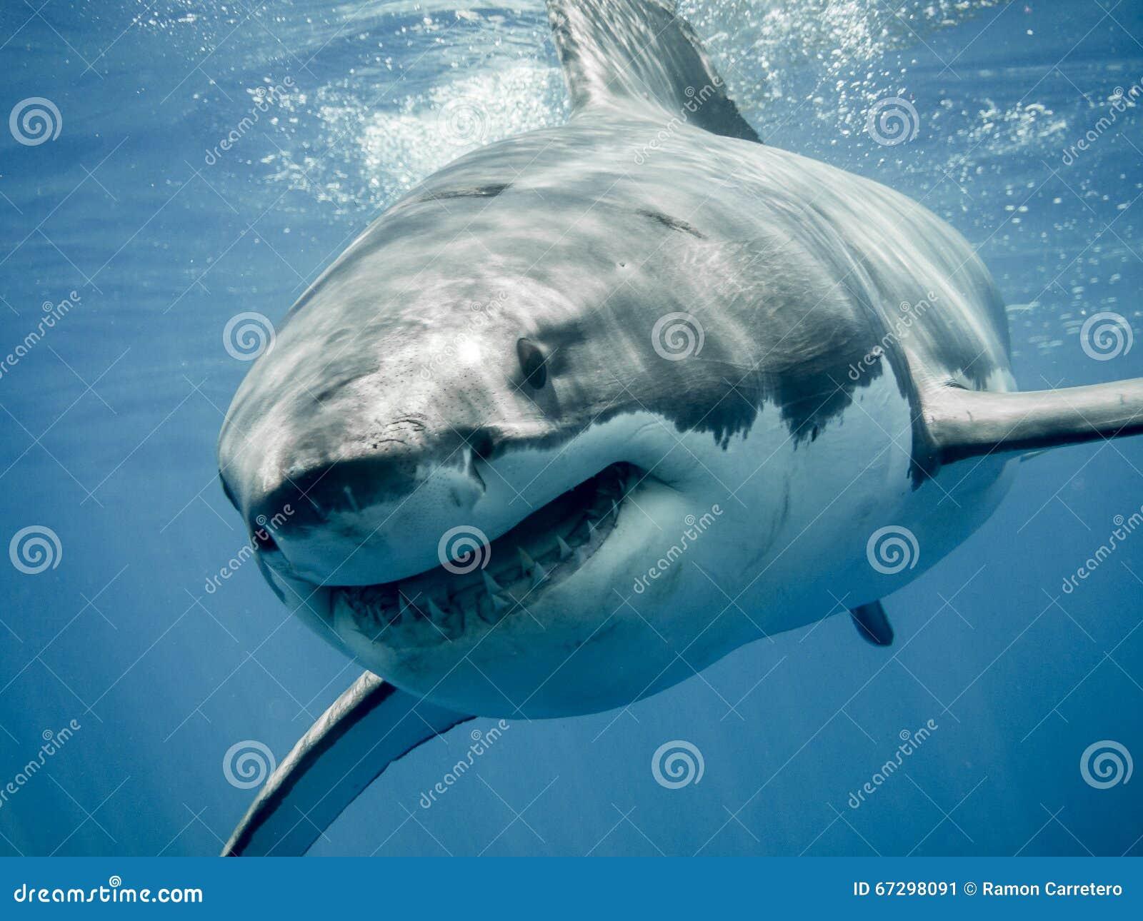 Great white shark s smile