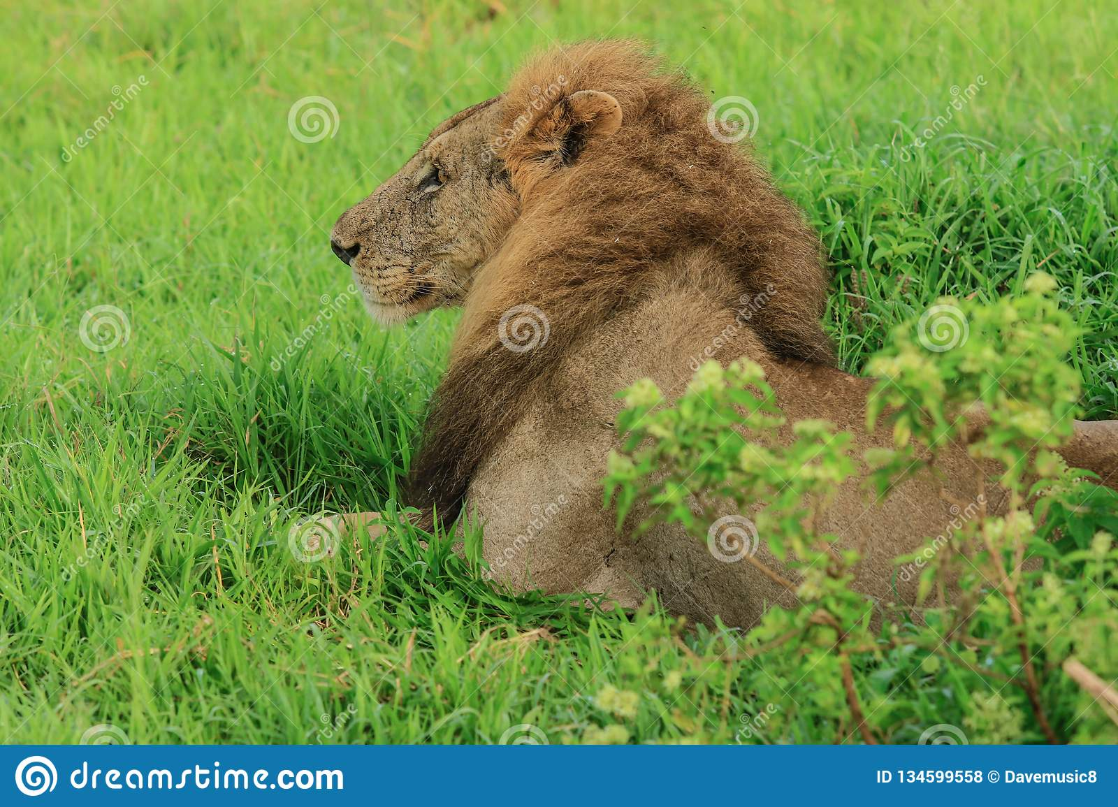 Great Wild African Lion leaning on the Road