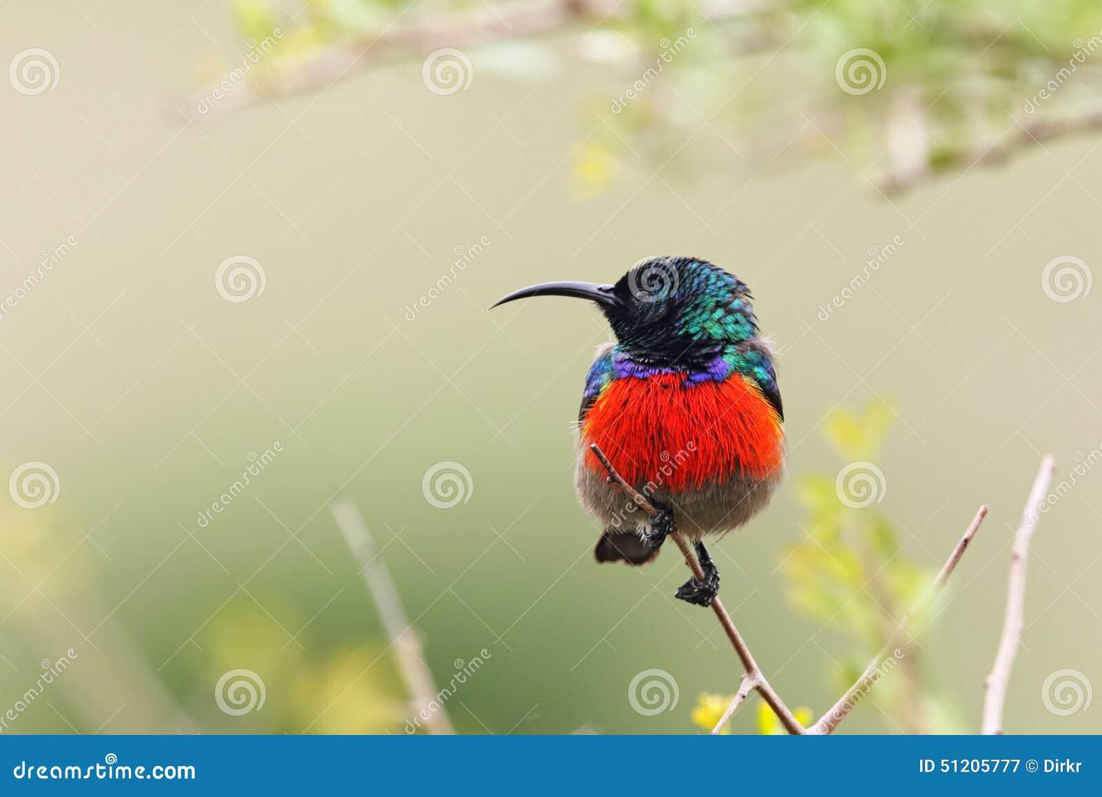 Greater Double-collared Sunbird (Cinnyris afer)