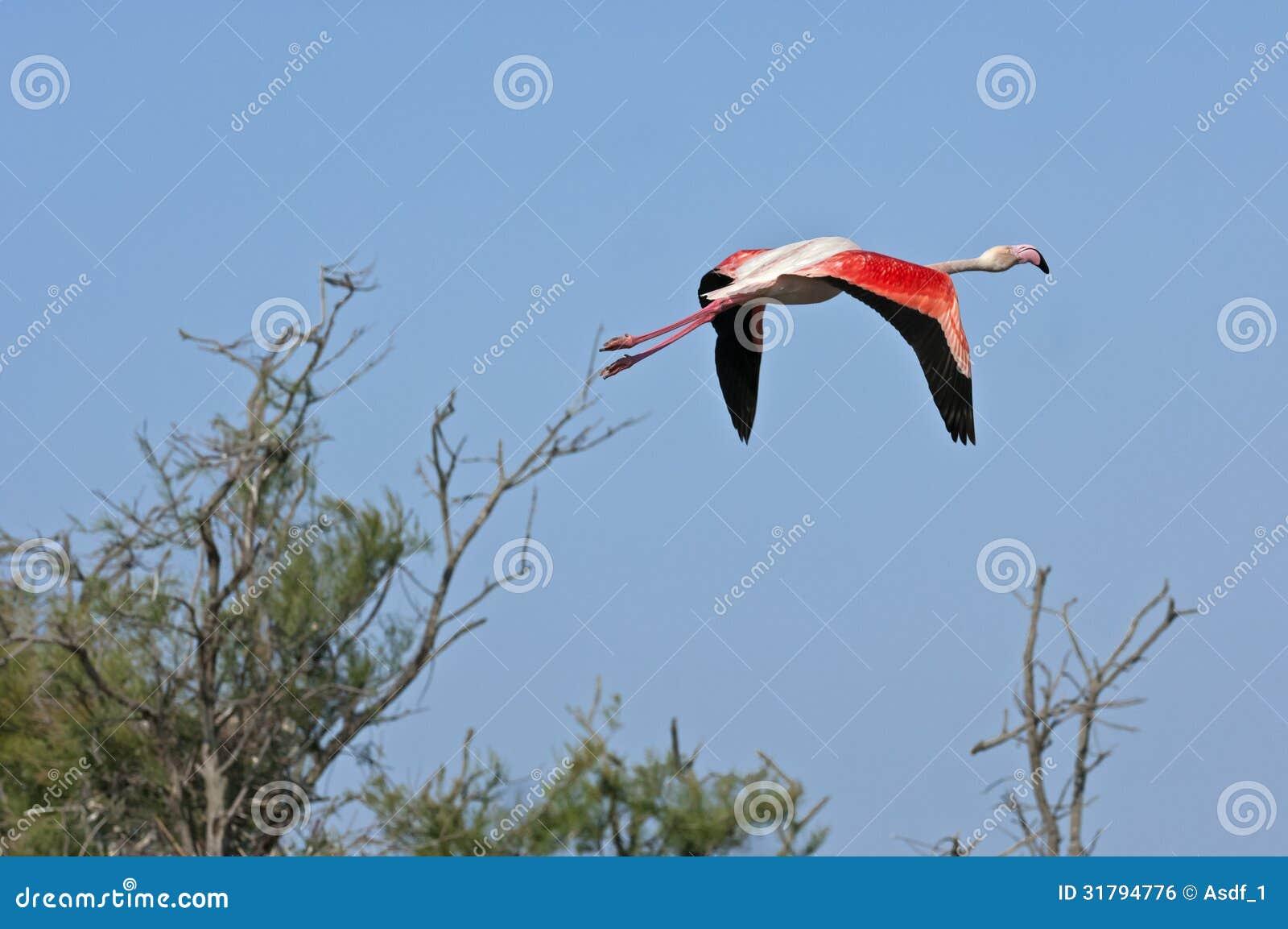 Aninimal Book: Greater Flamingo Royalty Free Stock Image - Image: 31794776