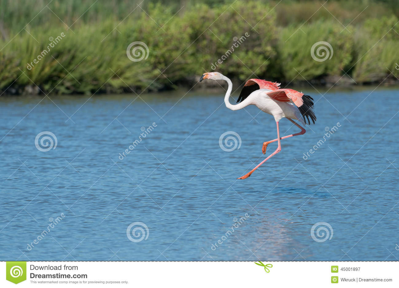 Aninimal Book: Greater flamingo stock image. Image of nature, fauna ...