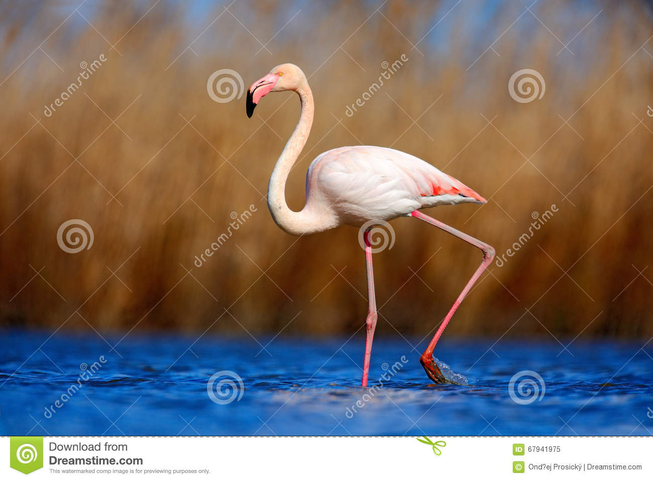 Greater Flamingo, Phoenicopterus ruber, beautiful pink big bird in dark blue water, with evening sun, reed in the background, anim