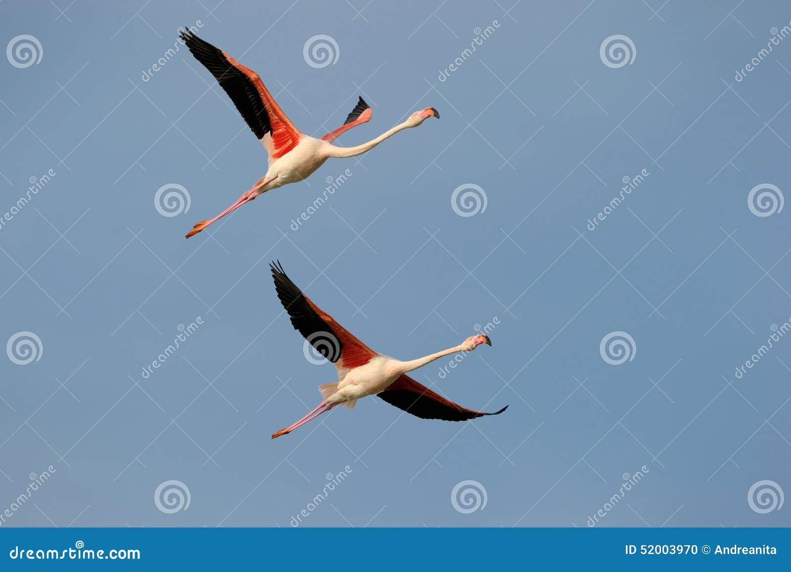 Aninimal Book: Greater Flamingo stock photo. Image of avian, blue ...