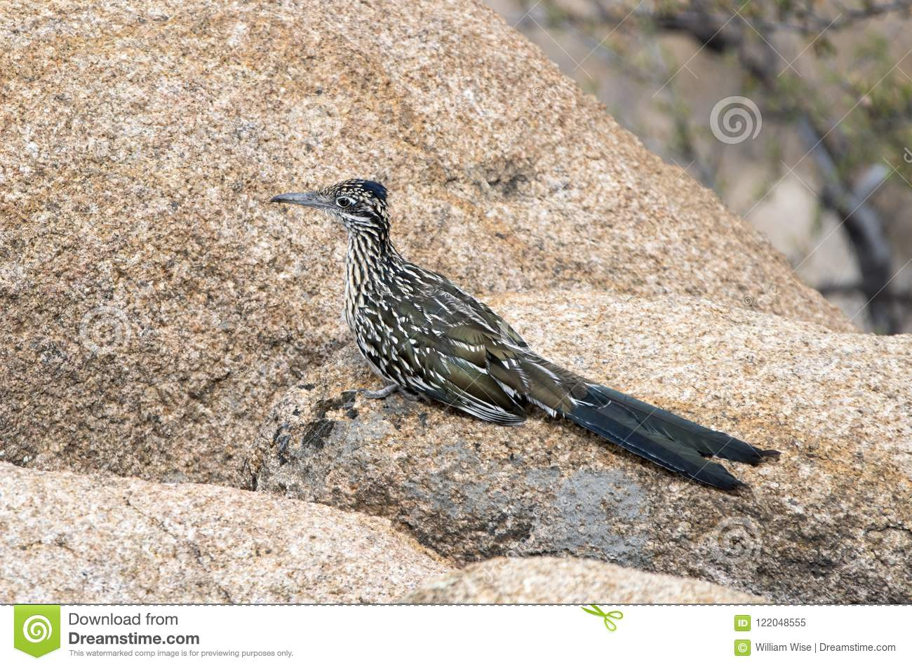 Greater Roadrunner bird, Lake Watson, Prescott Arizona USA