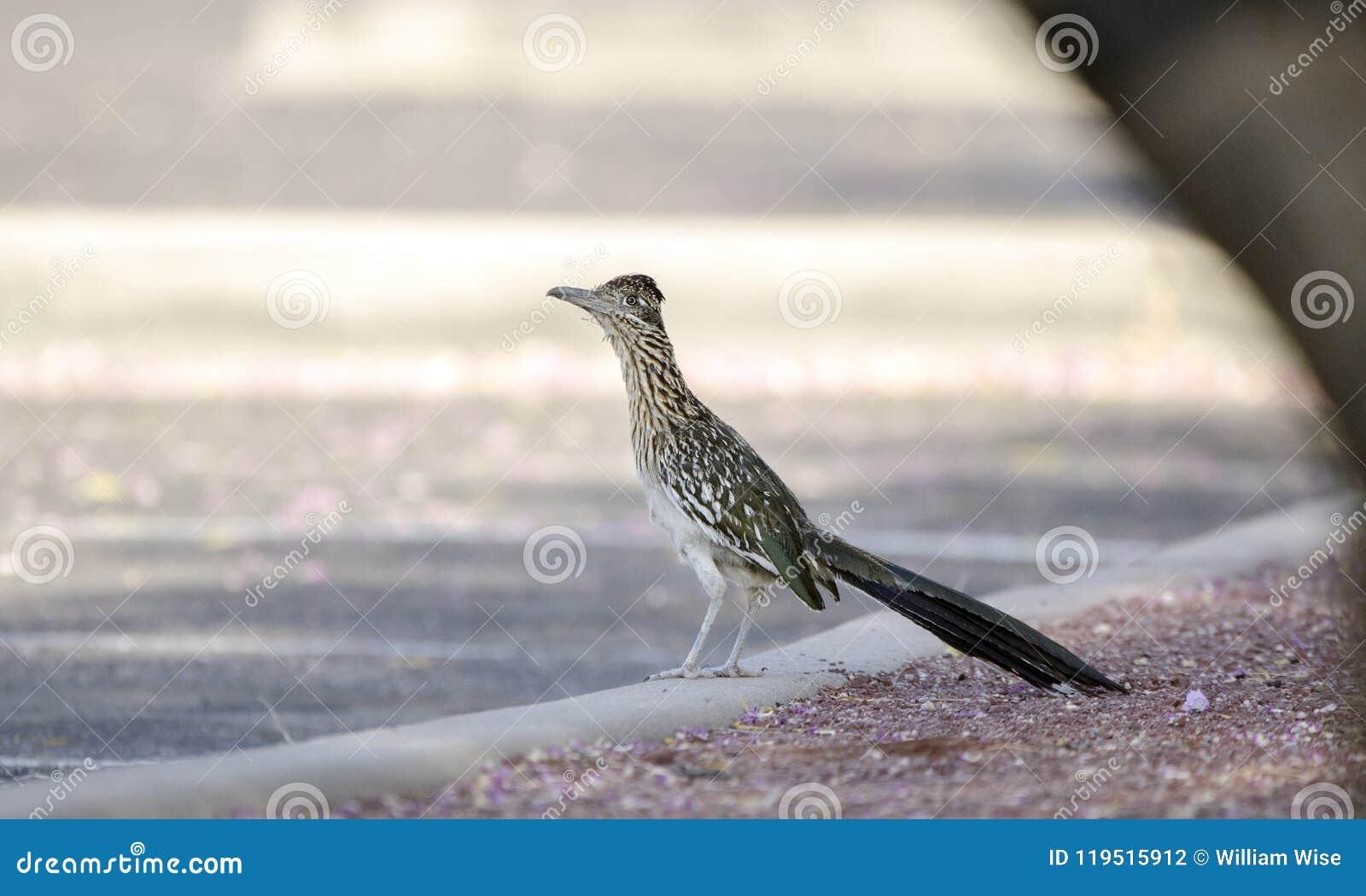 Greater Roadrunner bird, southwest desert, Tucson Arizona