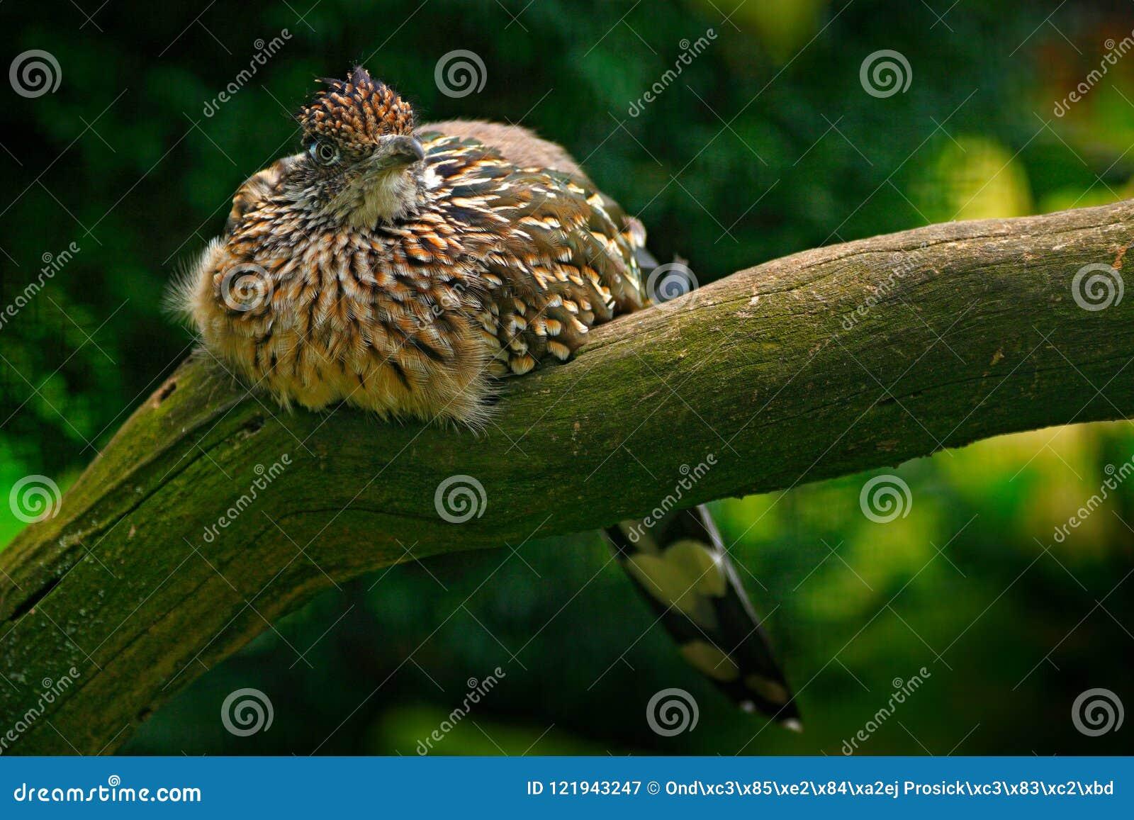 Greater roadrunner, Geococcyx californianus, bird sitting on the branch, Mexiko. Cuckoo in the nature habitat. Wildlife scene from