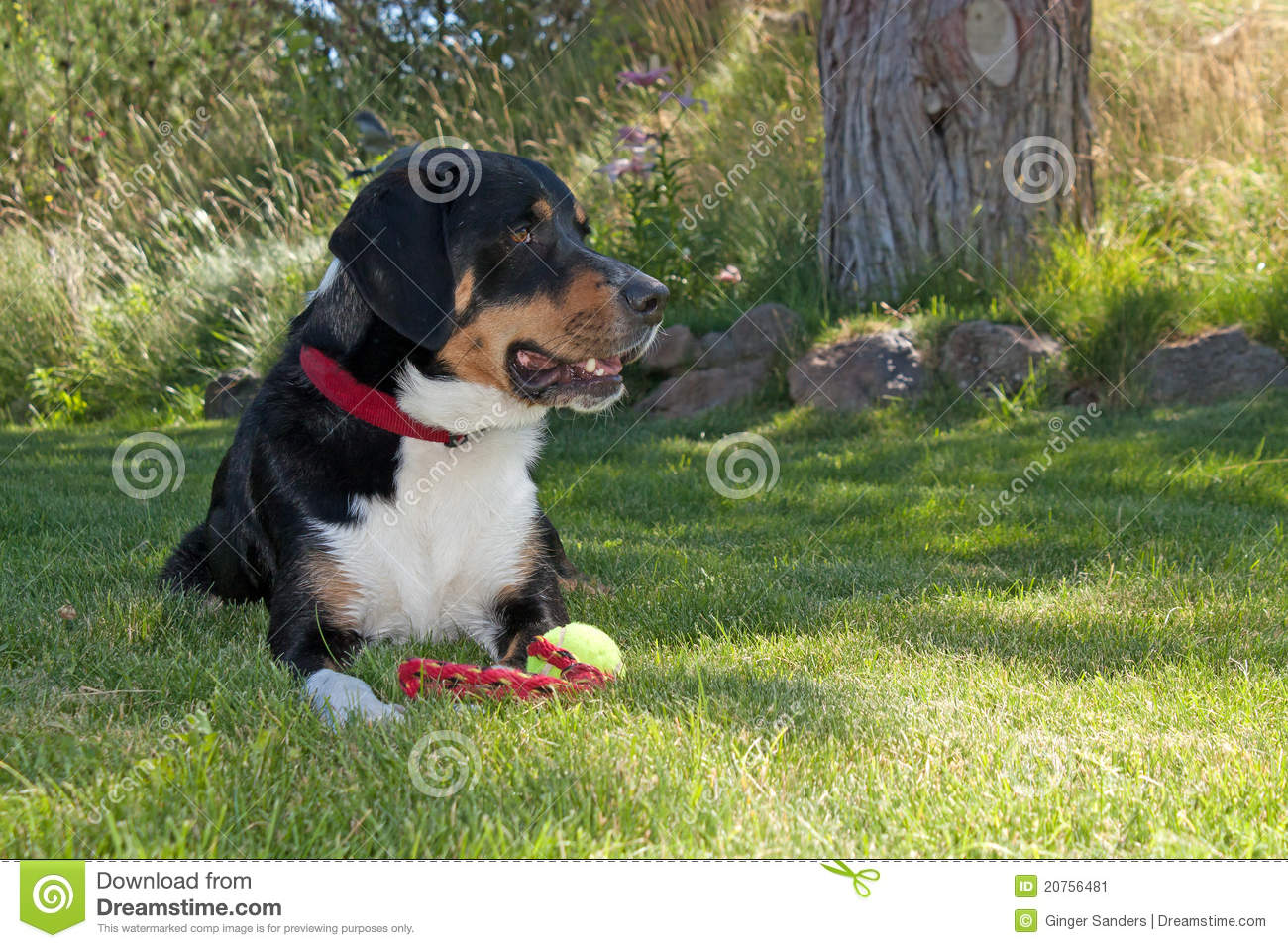 Greater Swiss Mountain Dog With Toy