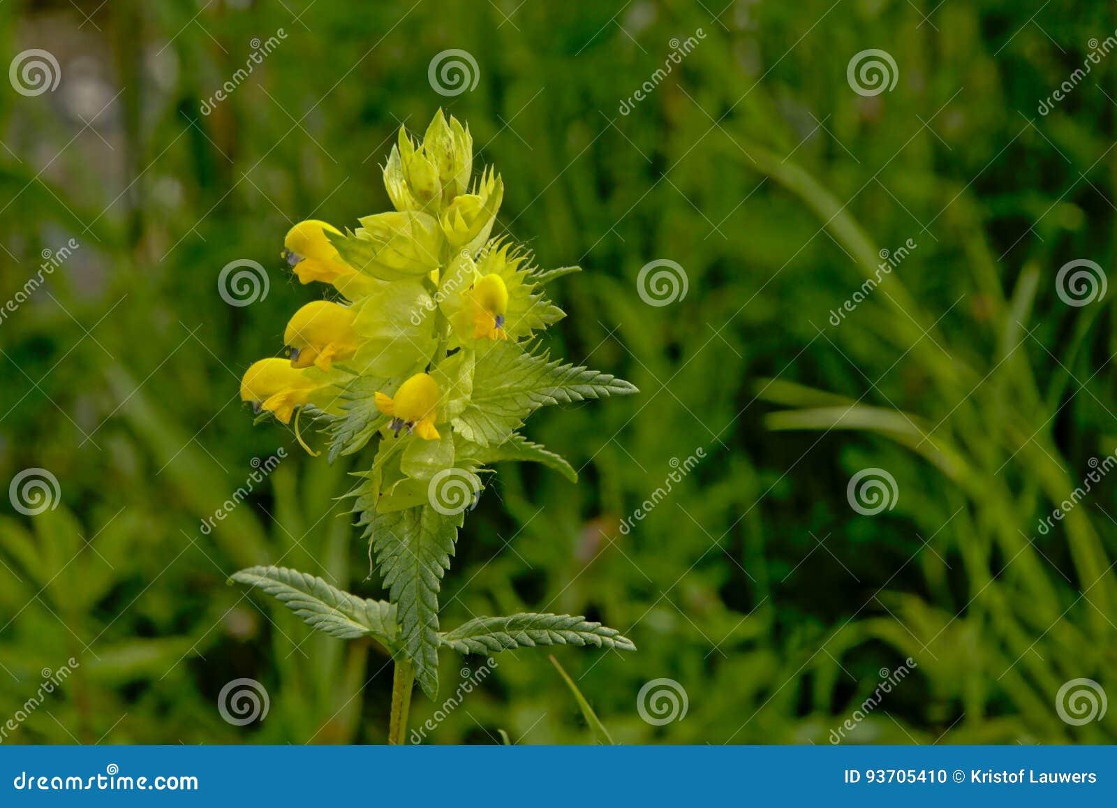 Greater Yellow Rattle Rhinanthus Angustifolius Stock Photo Image