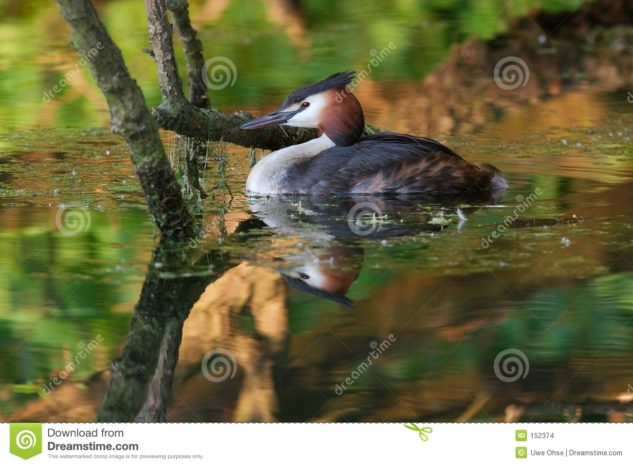 Grebe in Reflections 1