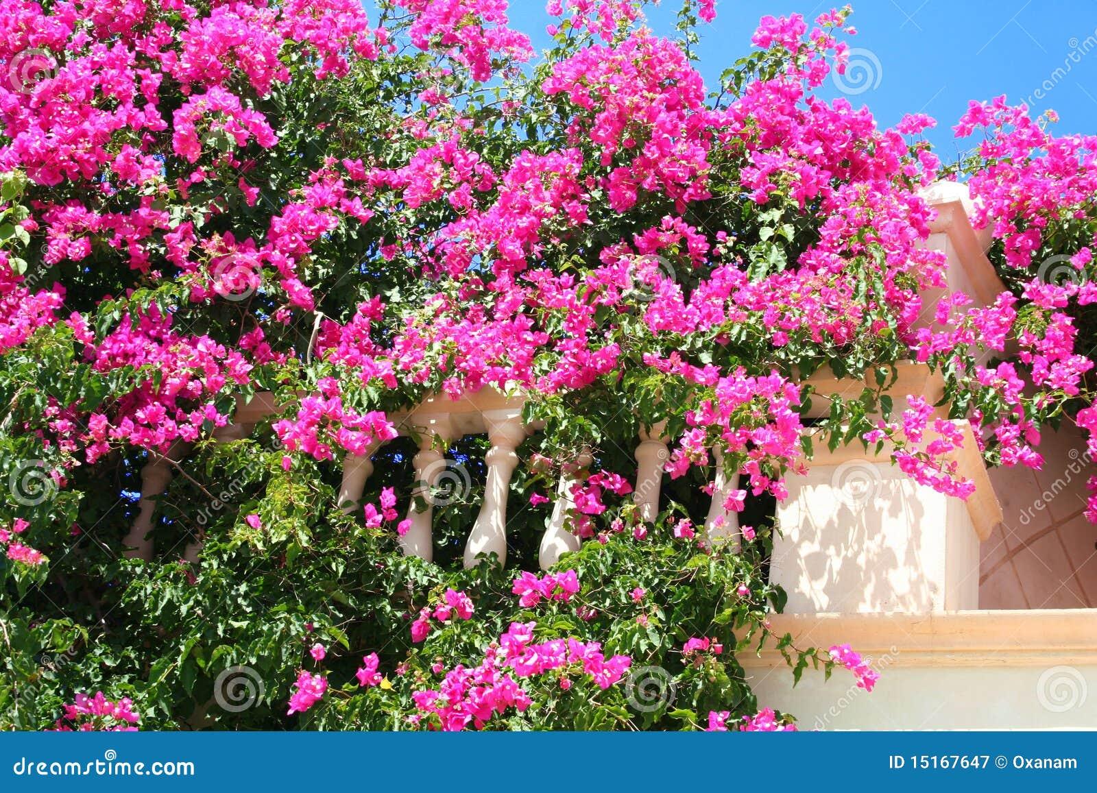 Греция. остров кос. розовые цветы - stock image oxana morozo.