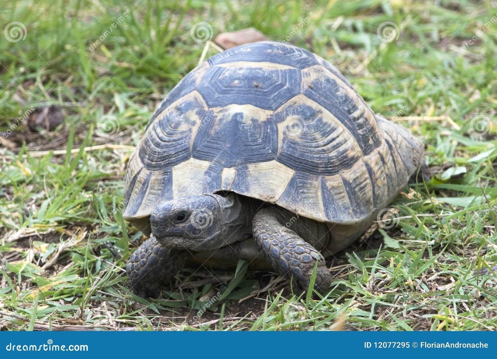 ibera greek tortoise - photo #18