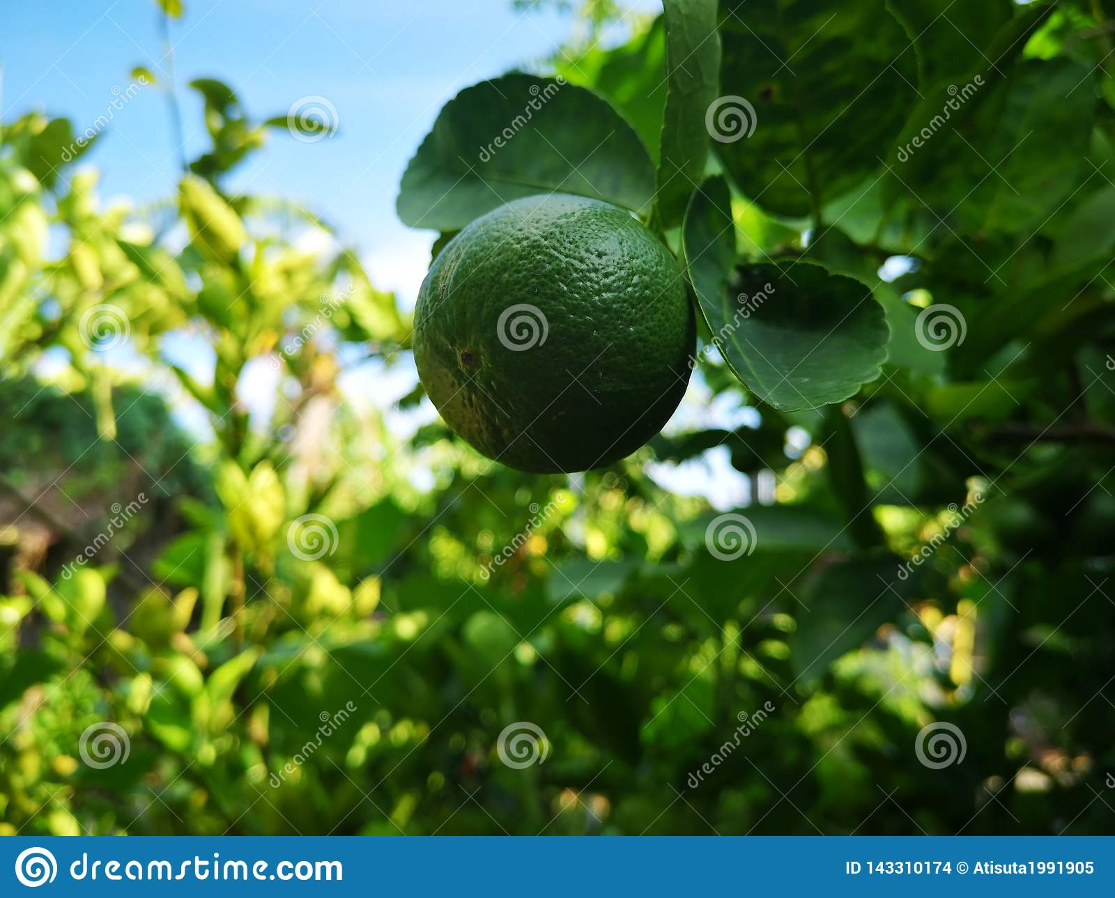 green​ lime, lemom tree​ plant​