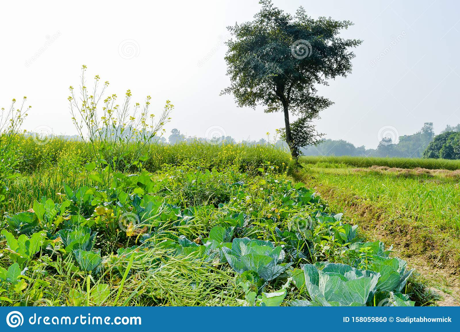 Green agricultural field ripening at spring season. A scenic natural landscape scenery with agricultural field in Bardhaman West