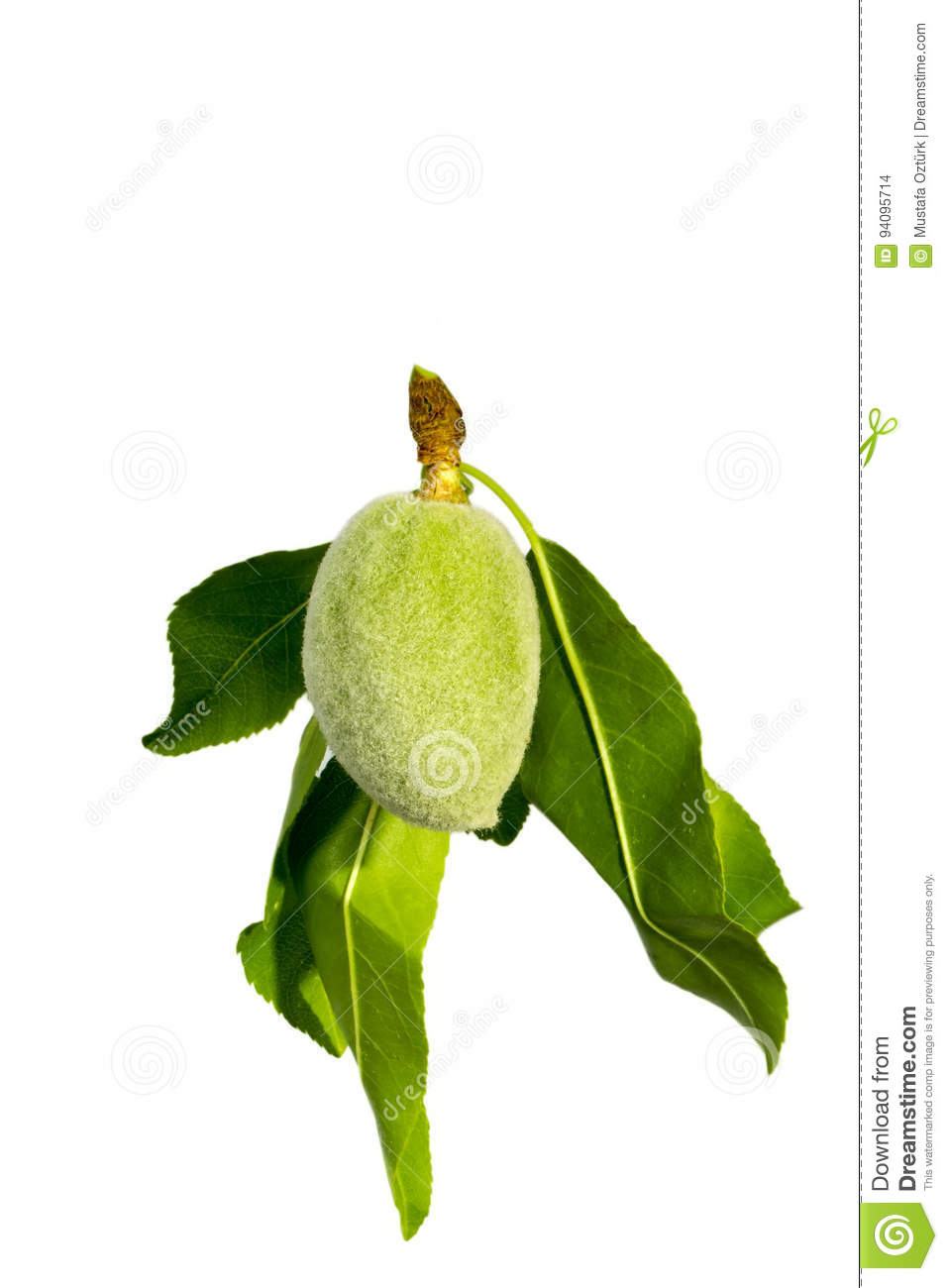 Green almond on a tree