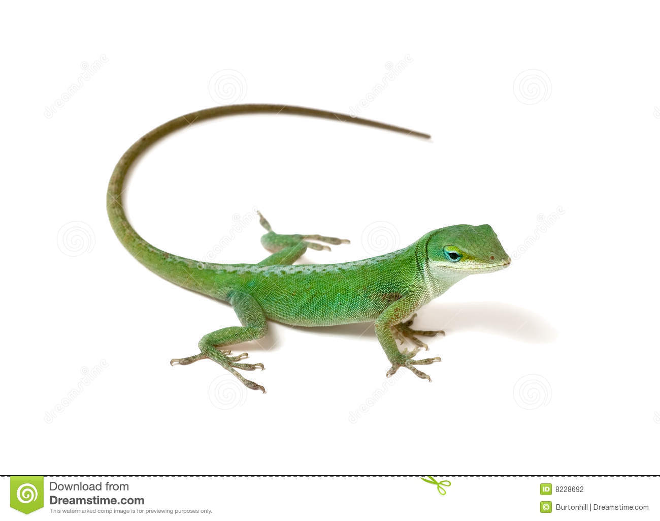 Green Anole Stock Photography - Image: 8228692