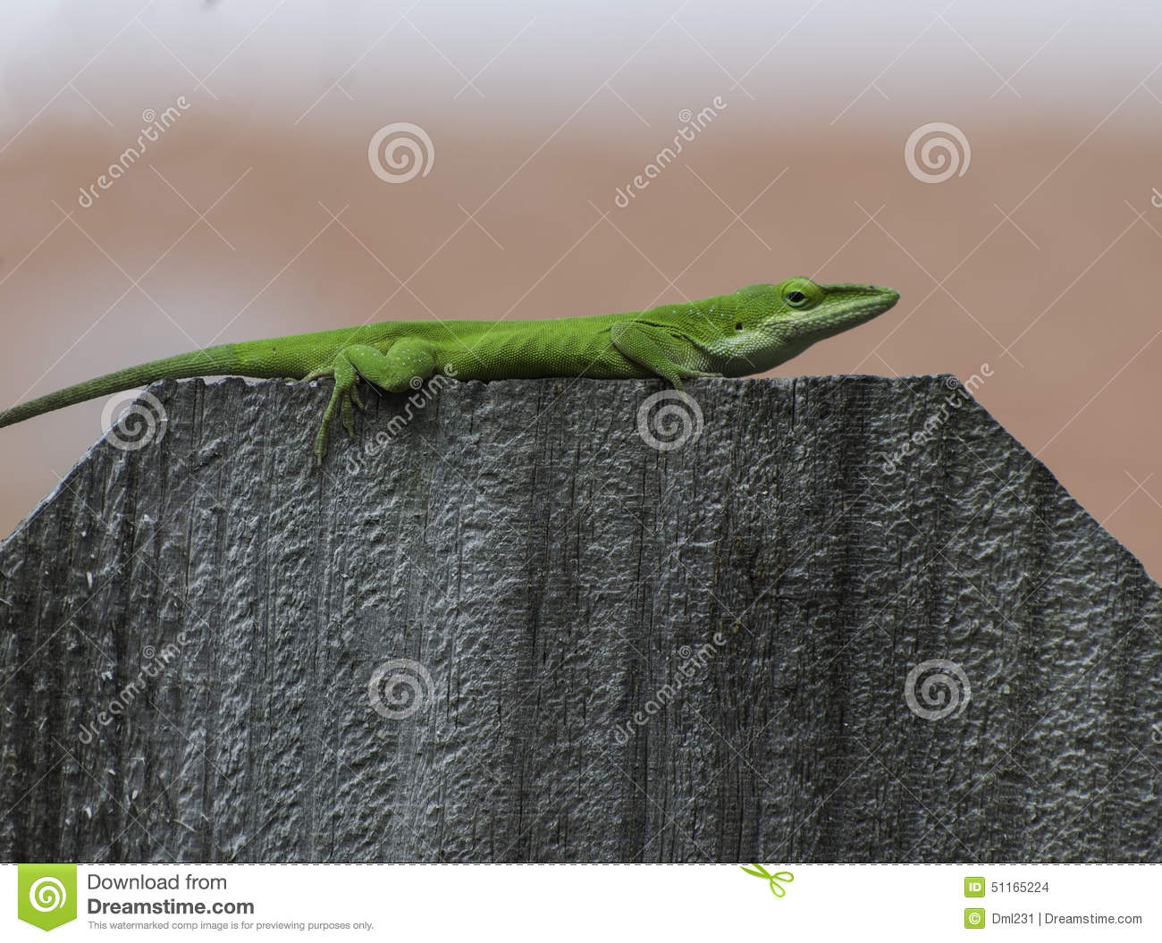 Green Anole on Fence