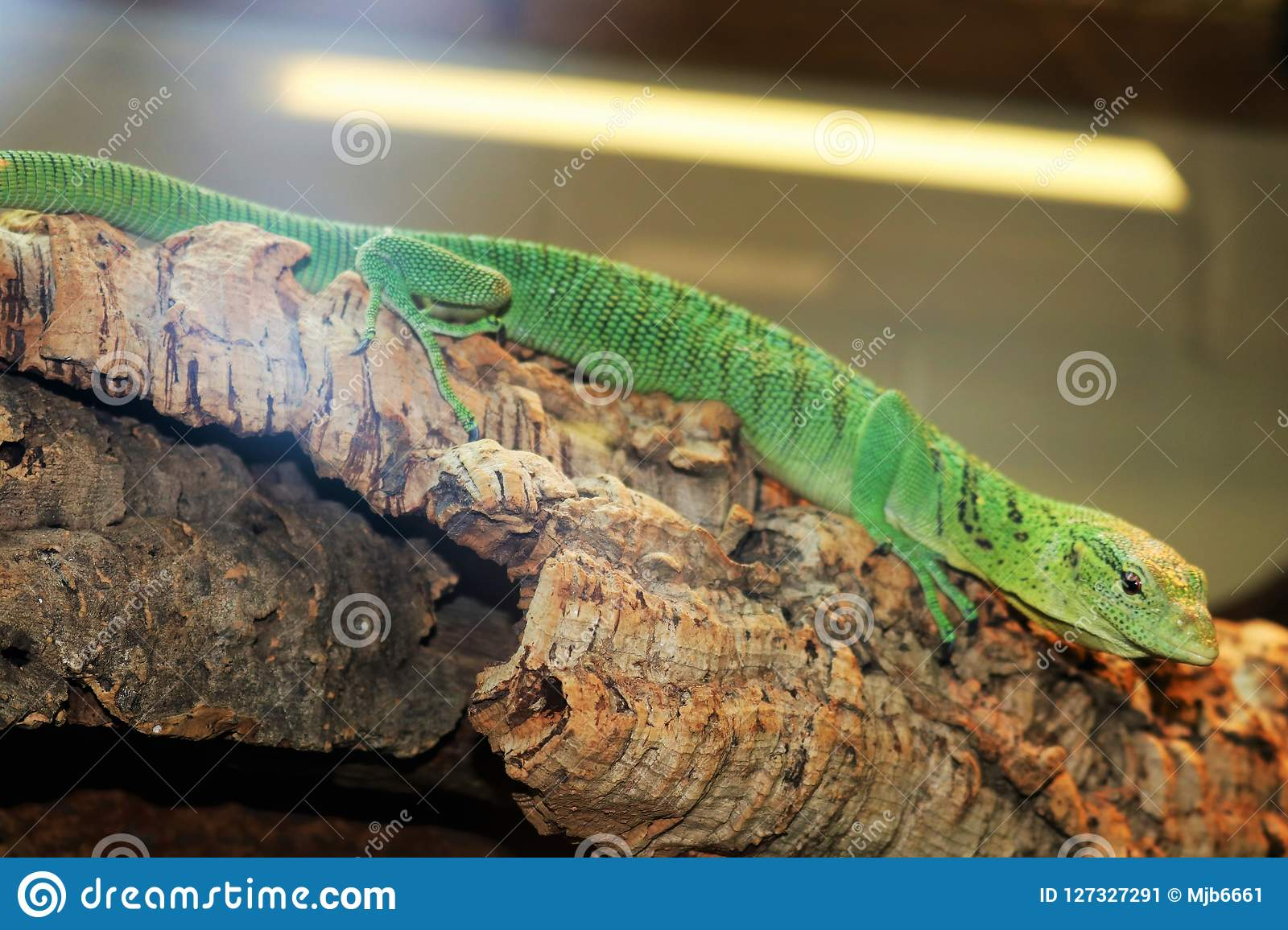 Green Anole lizard on branch at a tourist attraction