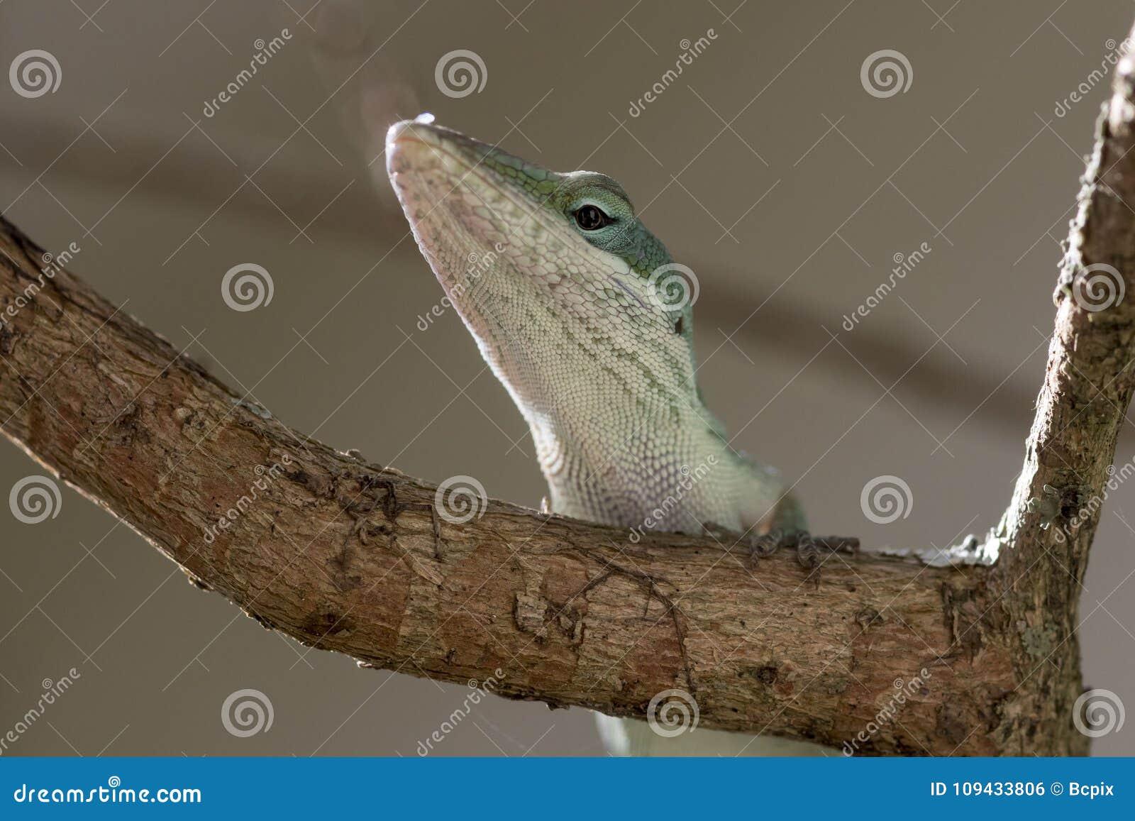 Green Anole Portrait