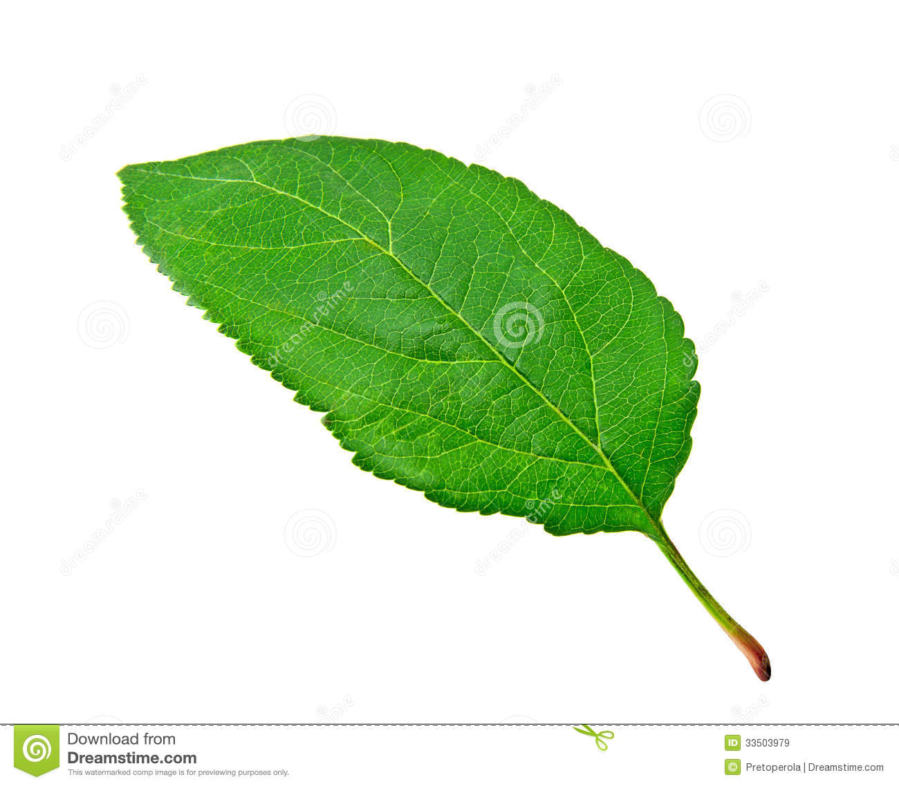 Green Apple Leaf Royalty Free Stock Images Image 33503979Green Apple Tree Leaves