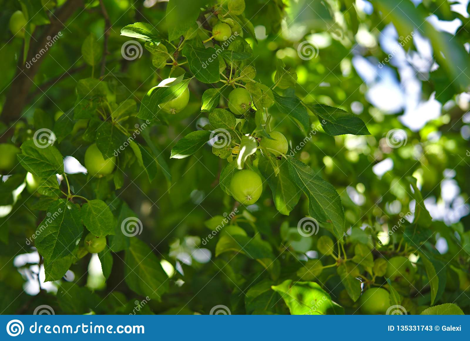Green apple tree with lots of apples growing