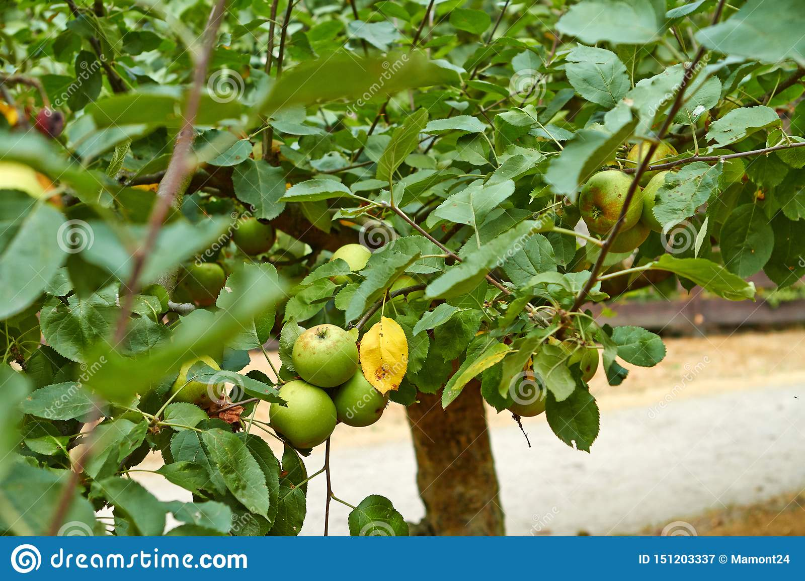 Green apples on the apple tree branch. Netherlands July