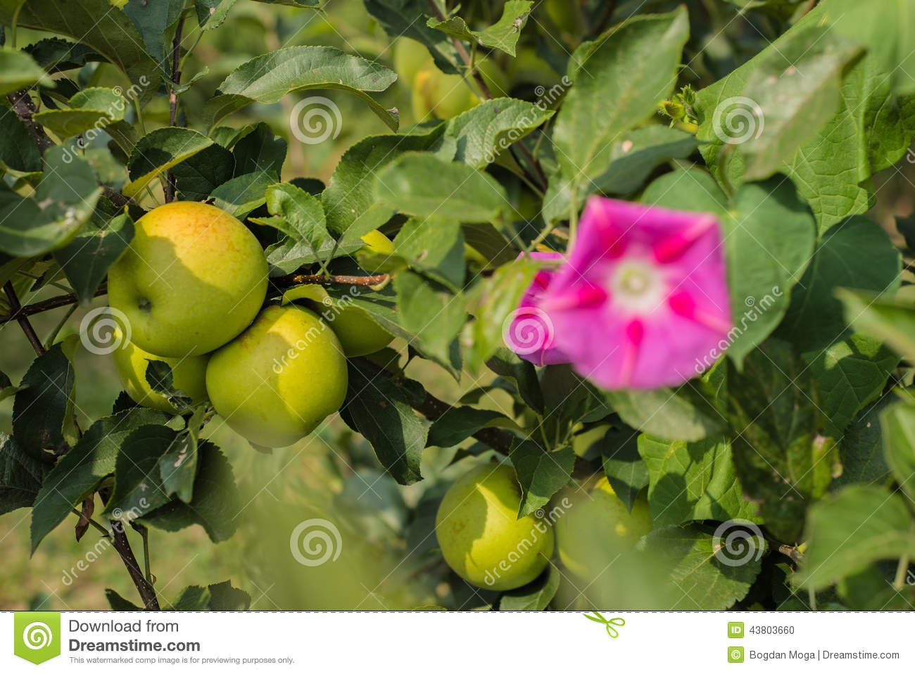 Green Apples In Apple Tree 3 Stock Photo - Image: 43803660