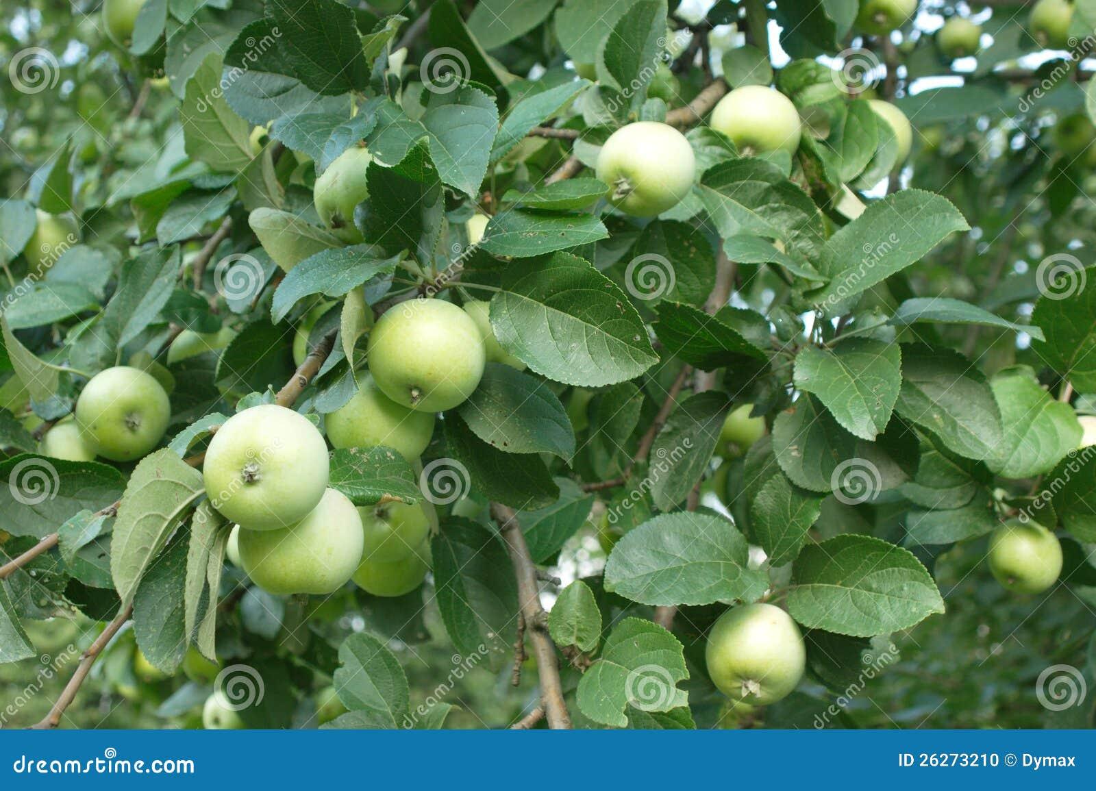 Green Apples On Apple-tree Closeup Stock Photo - Image of