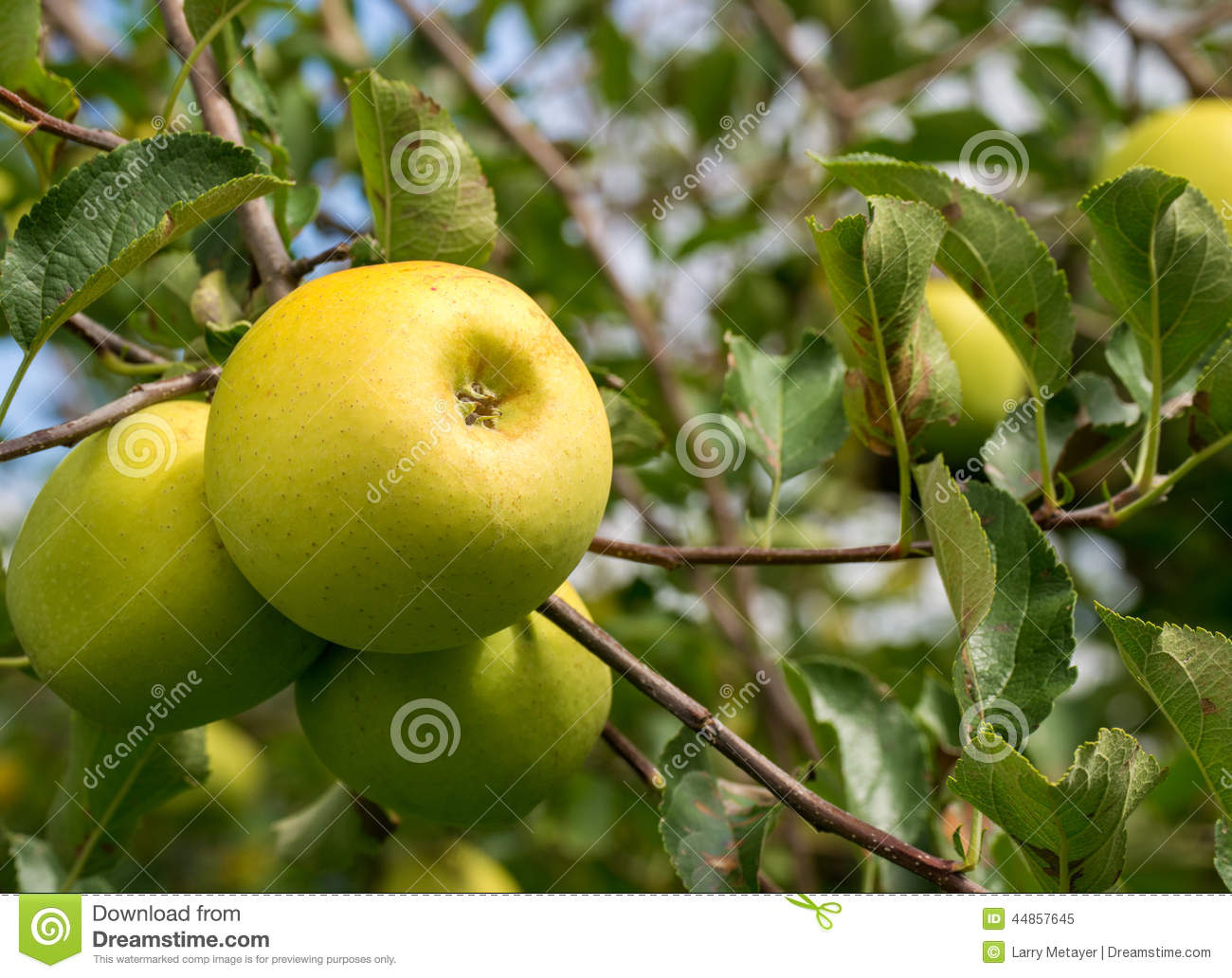 Green Apples growing on an Apple Tree
