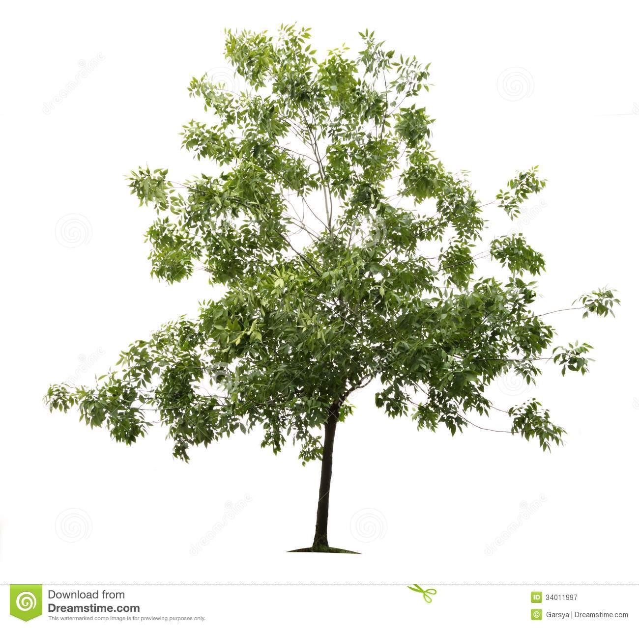 Green Ash Tree Royalty Free Stock Photography - Image: 34011997
