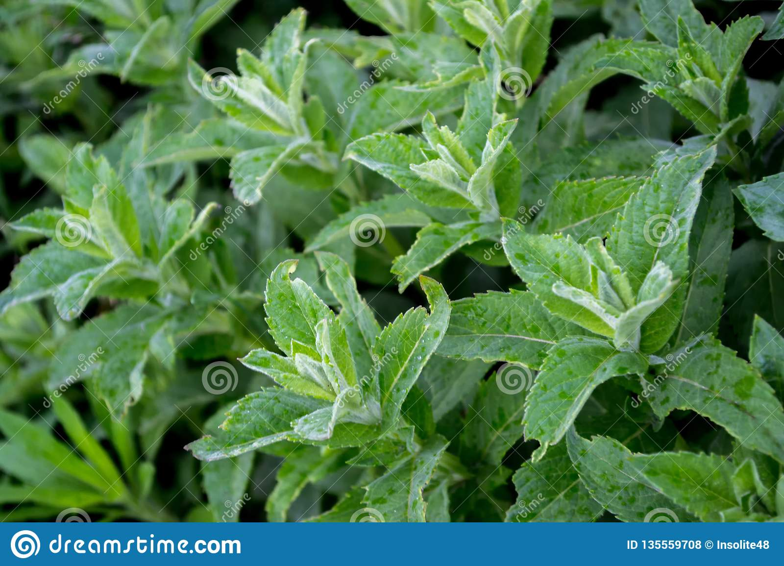 Green Background With Different Types Of Mint  Green Thick