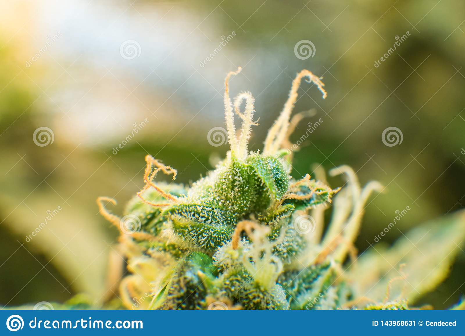 Green Background Of Flower  Young Cannabis Plant  Medicinal