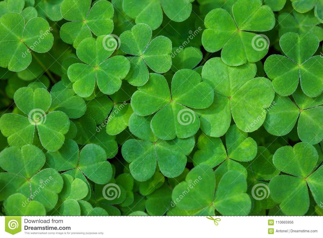 Green background with three-leaved shamrocks. St. Patrick`s day holiday symbol. Shallow DOF. Selective focus