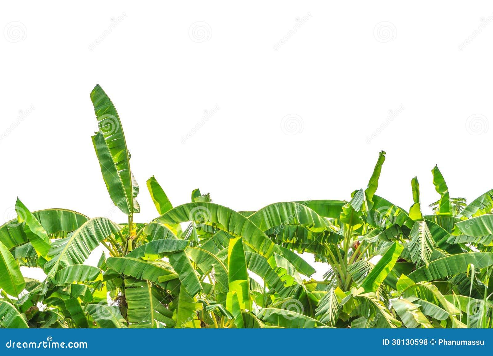 Green Banana Tree Royalty Free Stock Photos - Image: 30130598