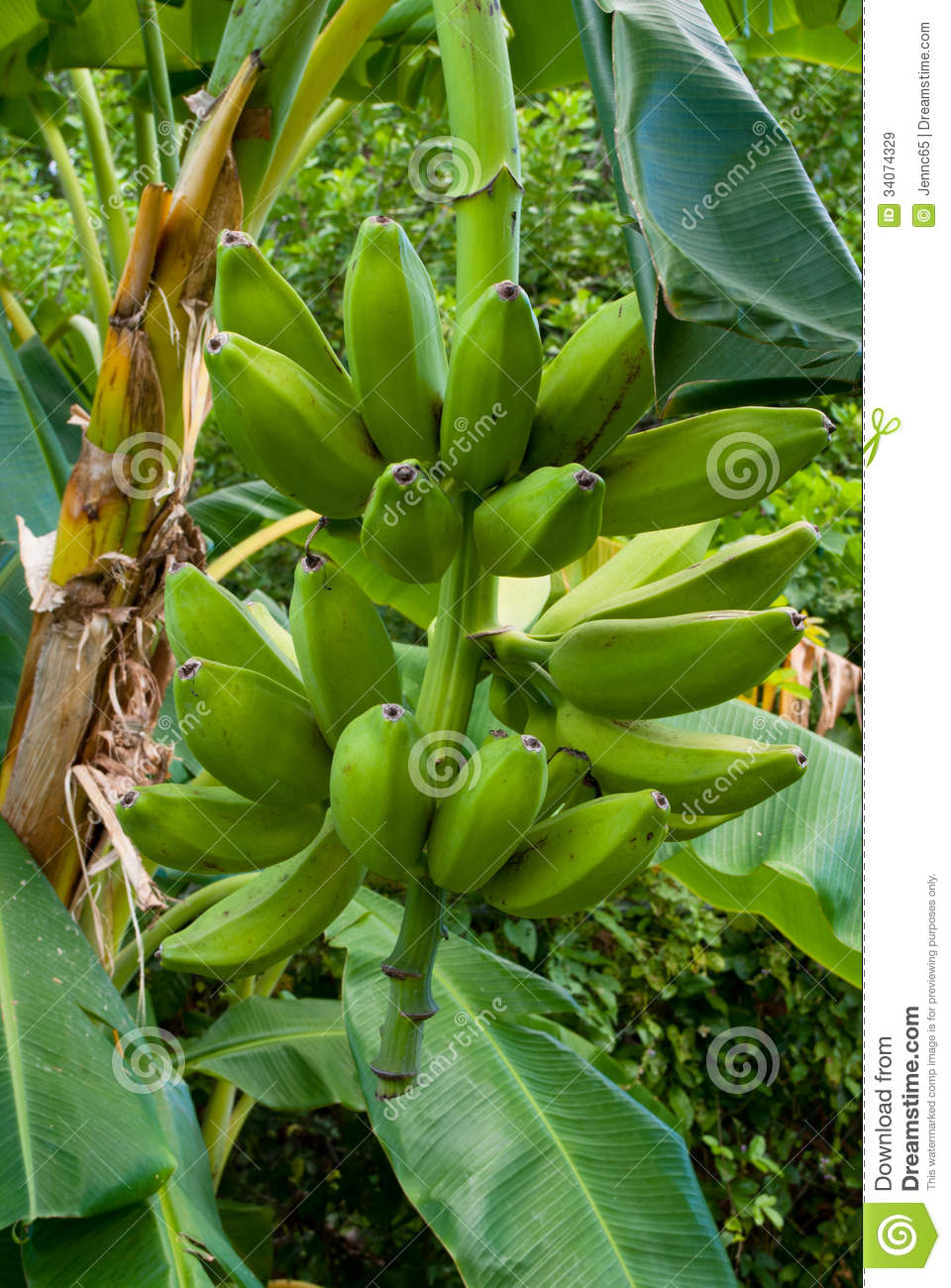 Banana Cultivation Business | Information Guide